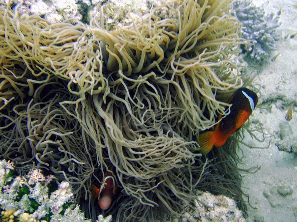 Sebae Anemone (Heteractis crispa) hosting a Pink Skunk Clownfish (Amphiprion perideraion)