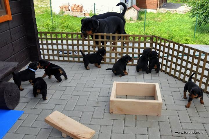Zabawki dla szczeniąt rottwieler drewniane