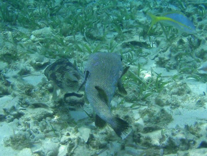 Avrainvillea nigricans (Paddle Blade Algae) near Victoria House, Ambergris Caye, Belize.