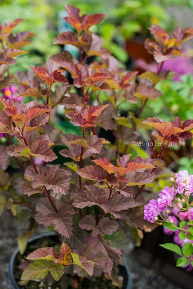 Physocarpus Amber Jubilee Physocarpus-amber-jubilee_120827-044m