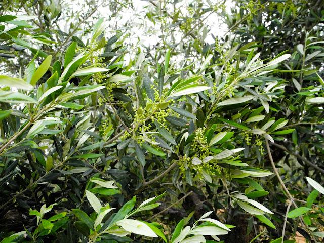 Олива, оливовая ветвь