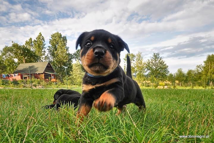 Mały rottweiler miluśiński