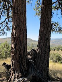 Ponderosa pine at geocache location