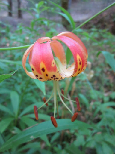 Leopard lily in Gilliam Creek