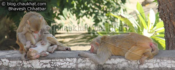 Monkeys of Jaipur - Monkey family