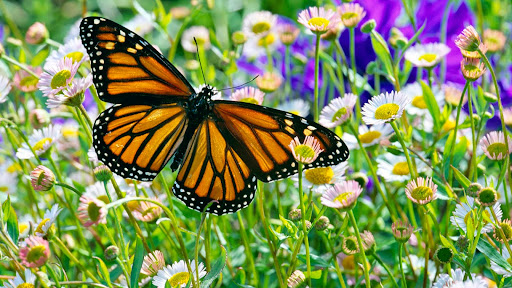 Monarch Butterfly in a Daisy Field.jpg
