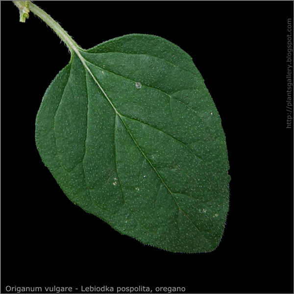 Origanum vulgare leaf - Lebiodka pospolita, oregano liść z wierzchu