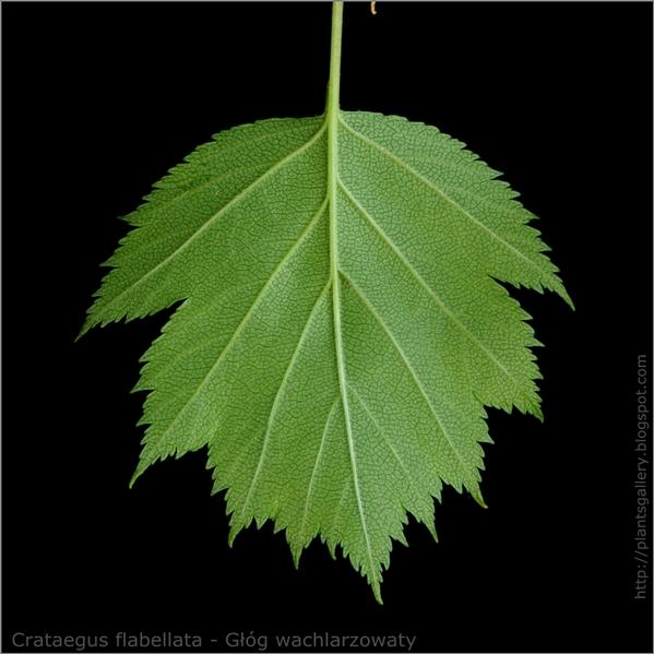 Crataegus flabellata leaf - Głóg wachlarzowaty liść od spodu