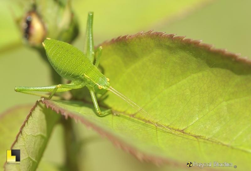 Leptophyes punctatissima (mâle)