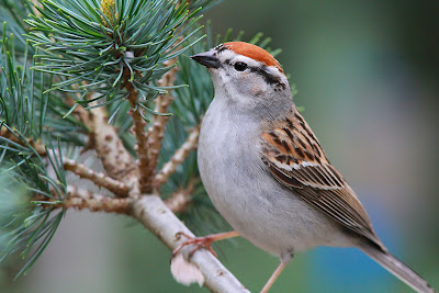 Chipping Sparrow, Comstock Knoll, Ithaca