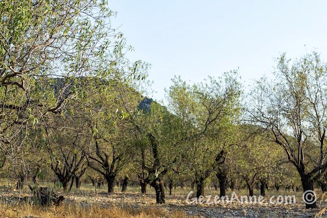 Mesudiye'ye yol kenarlarındaki badem ağaçları