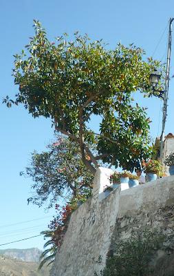 Orangenbaum in Fataga, Gran Canaria.