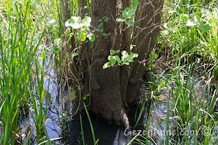Sakarya, Karasu'daki Acarlar Longozu'nda suyun içindeki ağaç gövdesi ve kökleri