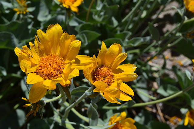 mule's ears, a composite flower