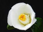 白色 一重 筒〜椀咲き 筒しべ 中輪