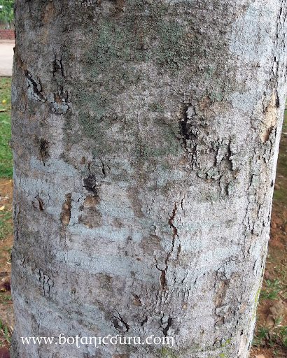 Sandoricum koetjape, Santol trunk