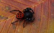Эрезус чёрный, или чёрная толстоголовка (Eresus kollari)