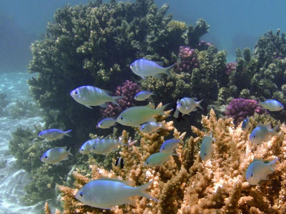 Chromis viridis (Green Chromis Damselfsh), Aitutaki.