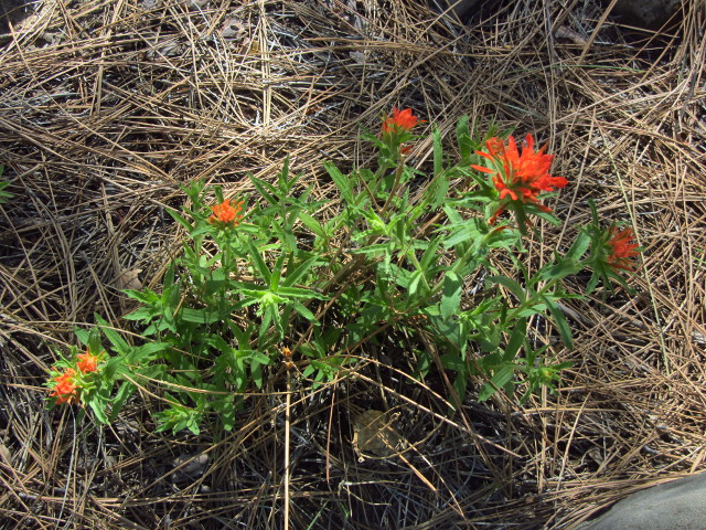Indian paintbrush lending color
