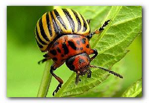 Боремся с жуком колорадским
