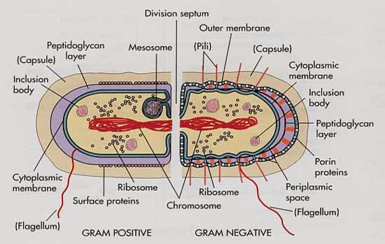 主 成分 細胞壁 細胞壁とは