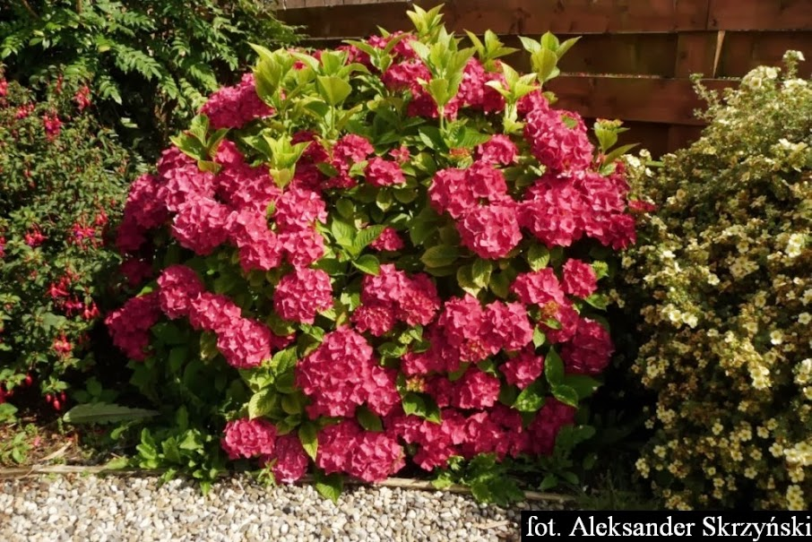 Hortensja ogrodowa Hydrangea macrophylla