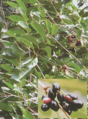 Java Plum Medicinal Plants Healing