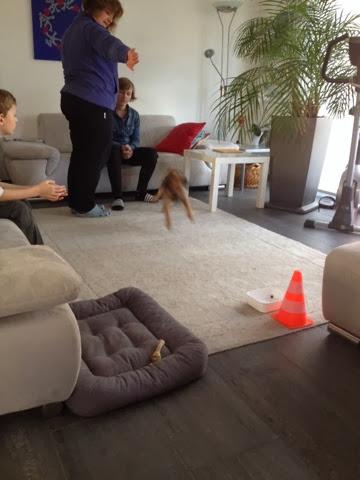 Border Terrier Charly übt das Dummytraining im Wohnzimmer