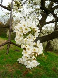 Czereśnia kwiaty Prunus avium