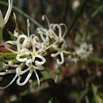 Needlebush (Hakea sericea) (233649)