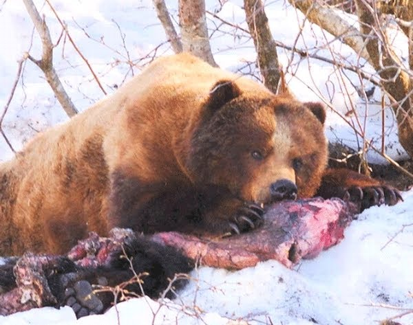 Urso pardo vs Urso polar 12