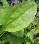 plantain leaf (Plantago major)