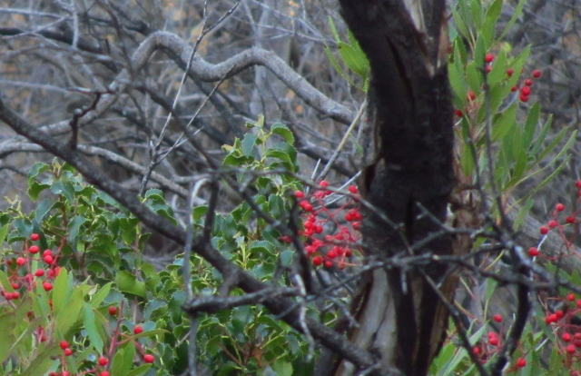 bright holly berries