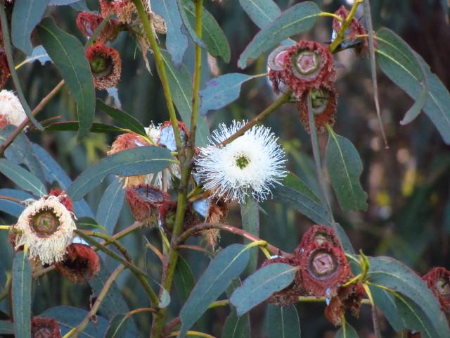 blooming eucalyptus