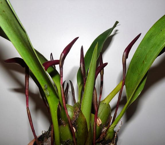 Maxillaria calantha P1370052