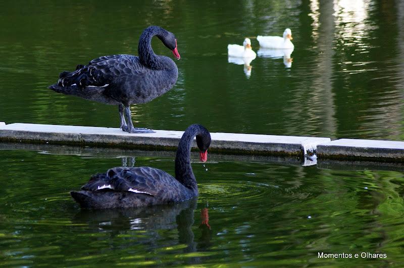 Cisnes Negros, Setúbal Jardim do Bonfim, Portugal