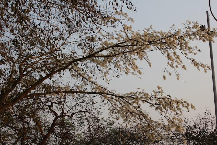 Hà Nội mùa xuân với những cánh hoa sưa