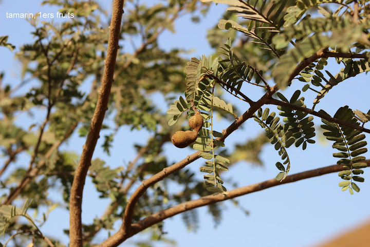 le tamarinier (Tamarindus indica)  - Page 5 IMG_0809