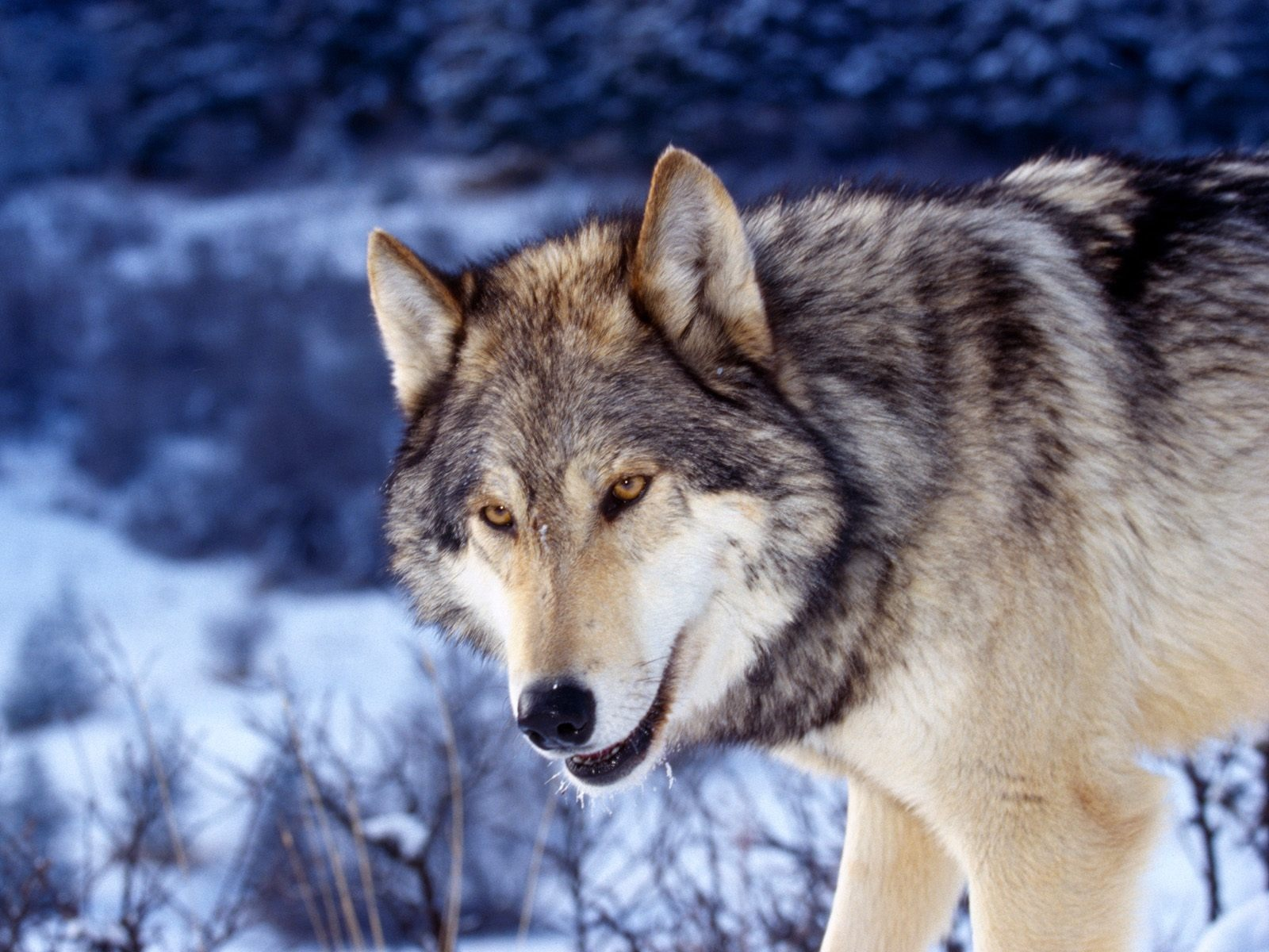 Bureaublad achtergrond met foto van zwart met grijze wolf