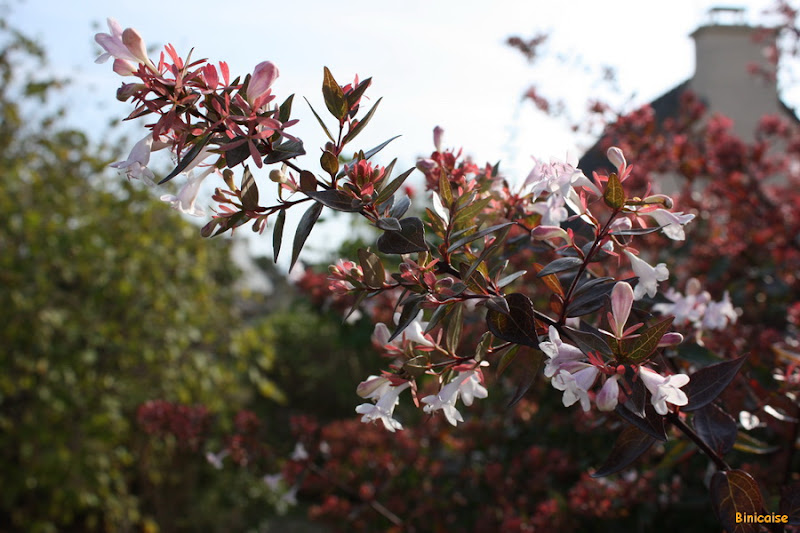 Quelques fleurs d'arrière saison.  dans Jardin binicaise