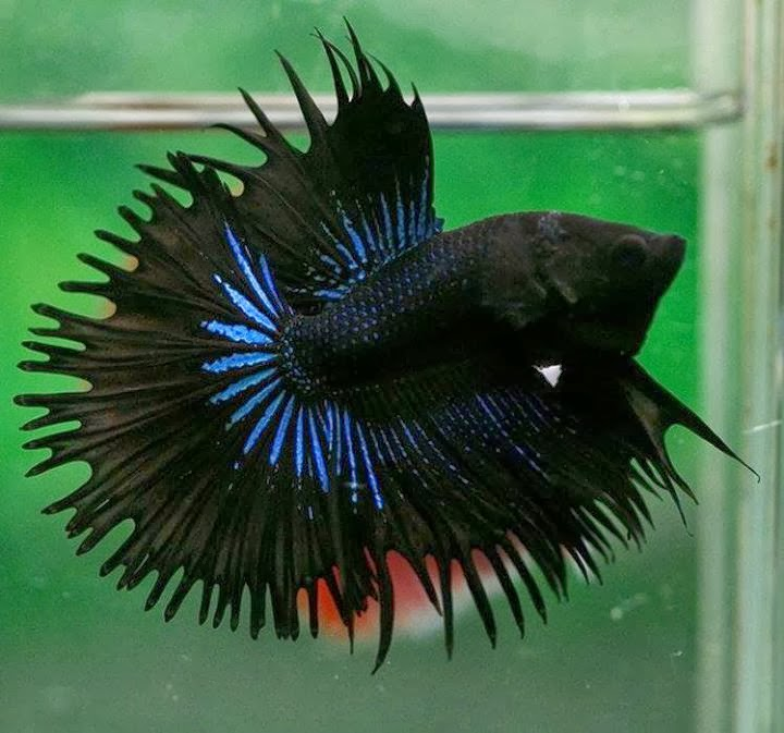 All about betta fish orchid black halfsun betta fish for All about fish