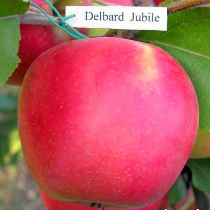 Дельбар Джубиле яблоня купить