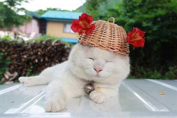 Image result for mèo Shironeko Nhật Bản