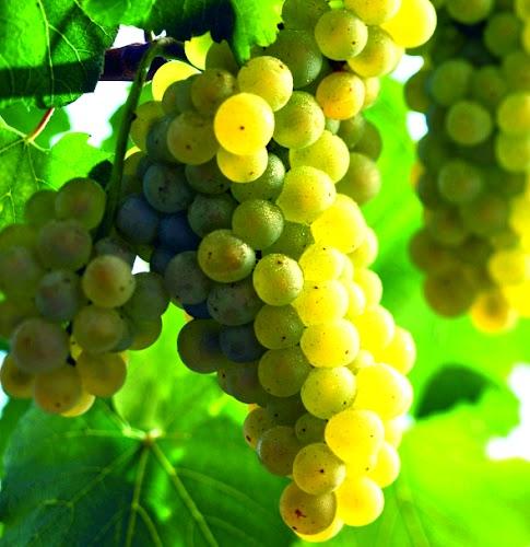 Prigotovleniye vina v domashnikh usloviyakh