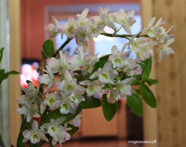 продам орхидейки IMG_3304