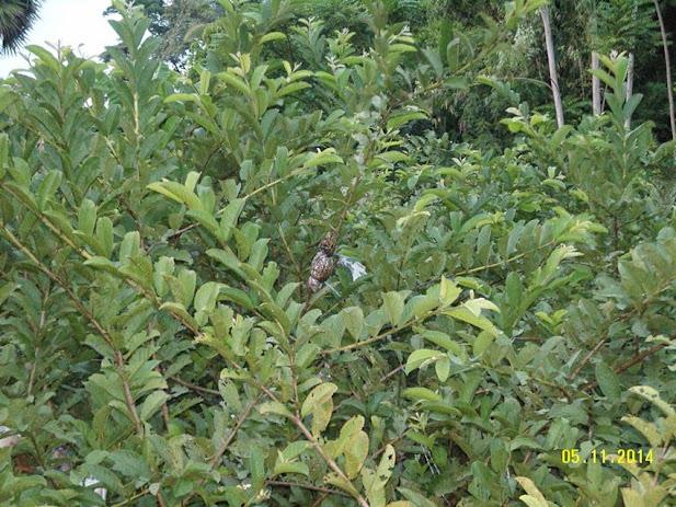 ปลูกฝรั่งแป้นสีทอง หนึ่งไร่ขายได้หนึ่งแสนบาทต่อปี