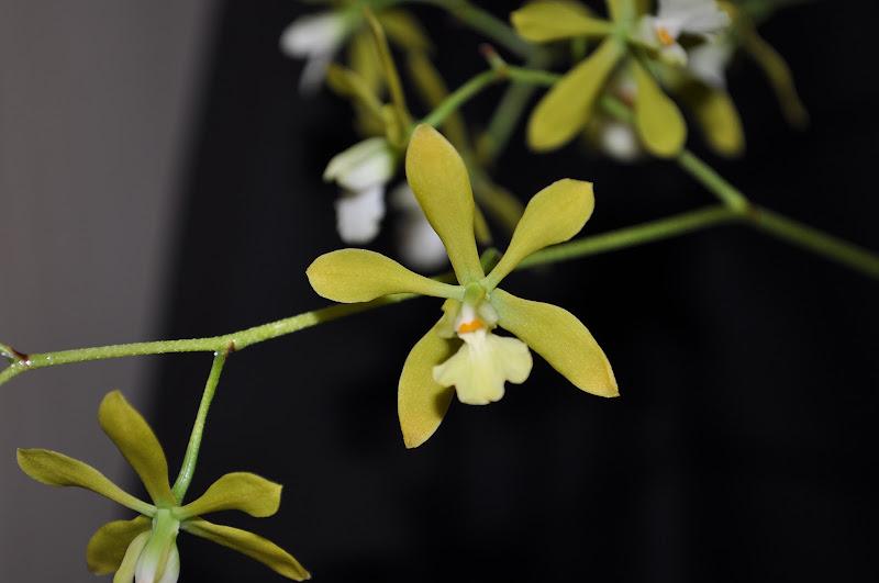 Encyclia tampensis alba  DSC_0019