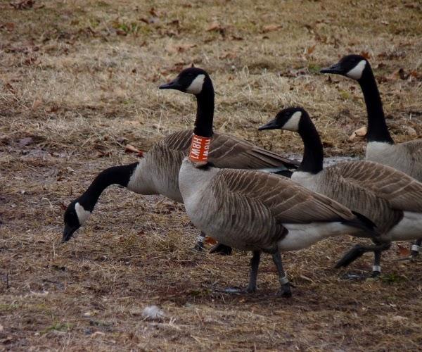 Backyard Abortion: Canada Goose Kids Drum Set