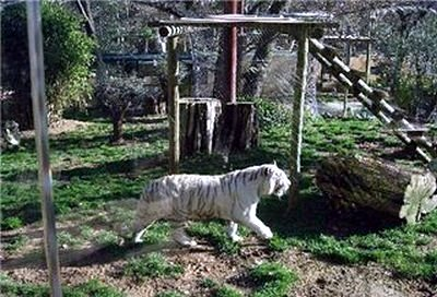 В зоопарке Лиссабона тигр альбинос фото