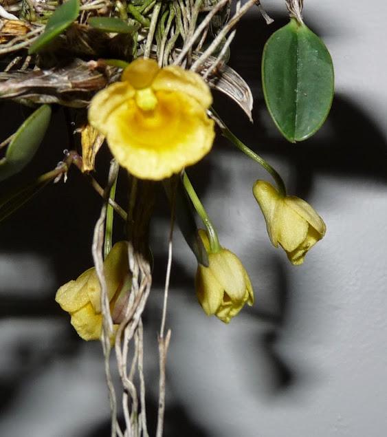 Dendrobium jenkinsii P1430042